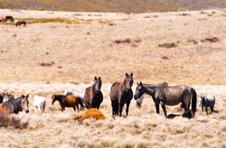 Iconic wild horses live free in Australian alps for almost 200 years in Kosciuszko National Park, NSW, Australia