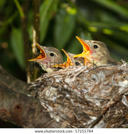 Icterine Warbler, Hippolais icterina. Fledglings in the nest.