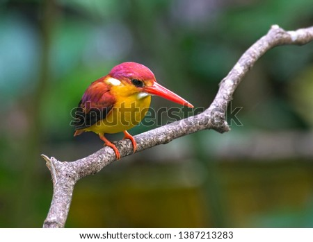 ID : Rufous-backed Kingfisher (Ceyx rufidorsa) also known as Oriental dwarf kingfisher (Ceyx erithaca), black-backed kingfisher or three-toed kingfisher.