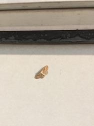 Idaea, sometimes called Hyriogona, is a large genus of geometer moths. They are found nearly worldwide. Arthropoda Lepidoptera Geometridae