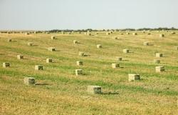 Idaho Falls, Idaho, USA Jul. 1, 2013 Hay bales in an alfalfa field waiting to be picked up..