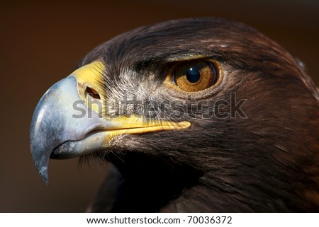 Idaho golden eagle