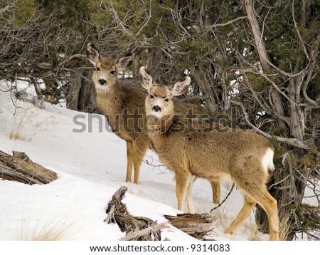 Idaho Mule Deer in Juniper Trees - stock photo