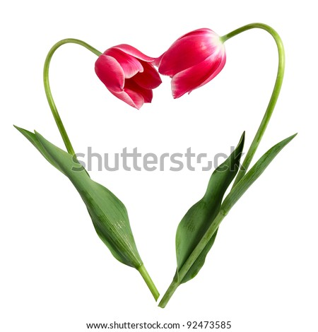 Idea for Valentine's day. Heart from two tulips on a white background