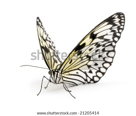 Idea leuconoe butterfly in front of a white background