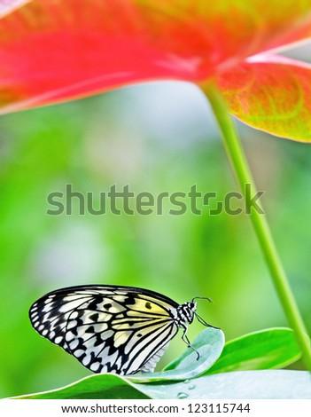 idea leuconoe butterfly sitting on a flamingo flower