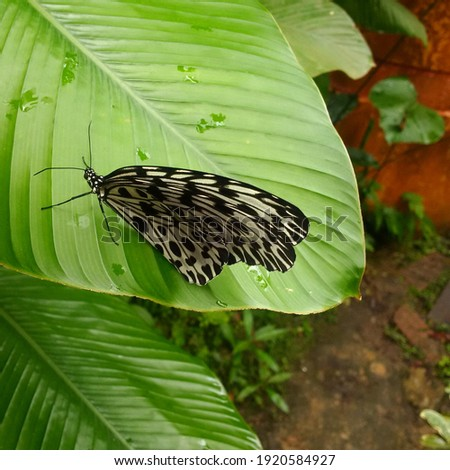 Idea Stolli is a species of nymphalid butterfly in the Danainae subfamily. The wings are white with black dots and veins. Butterflies of Thailand, Malaysia and Borneo. Stock photo ©