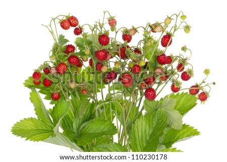 Ideal  bush of real wood wild red strawberry berries with leaves isolated macro. Selective focus