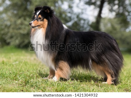 Ideal illustration of perfectly build sheltand sheepdog standing outside on summer time with green grass field background. Black sable white tricolor sheltie, lassie, collie female with fluffy groomed