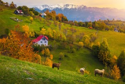 Idyllic autumn countryside landscape with grazing sheeps and snowy mountains in background. Colorful deciduous trees on the hills at sunset, Magura village near Brasov, Transylvania, Romania, Europe