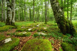Idyllic forest landscape with mossy stones and mossy tree trunks. Fairy tale scenary. High quality photo