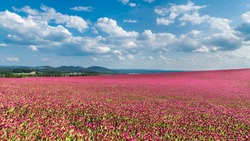 Idyllic landscape and a flowering crimson clover farmland. Trifolium incarnatum. Red trefoil blooms. Spring blue sky and fluffy white clouds. Green trees and hills on the horizon. Full depth of field.