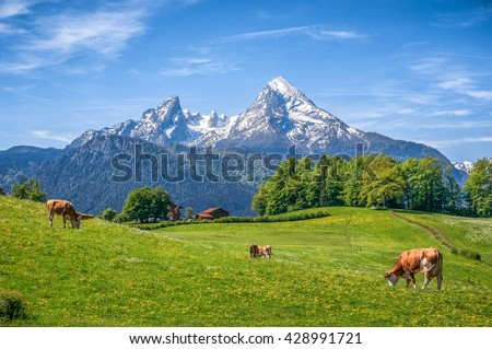 Idyllic landscape in the Alps with cows grazing in fresh green meadows between blooming flowers, typical farmhouses and snowcapped mountain tops, Nationalpark Berchtesgadener Land, Bavaria, Germany
