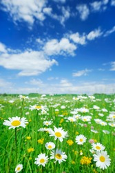 Idyllic landscape, view on green and flowery meadow under the blue sky and white clouds