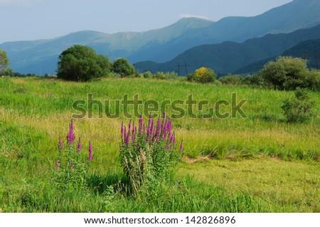 Idyllic landscape with blooming Lythrum salicaria (Purple loosestrife)