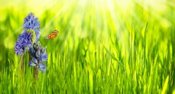 idyllic spring flower meadow in sunshine, blue hyacinth blossom on beautiful blurred springtime background with copy space, hapiness in garden landscape