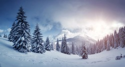 Idyllic view of spruces covered in snow. Frosty day, exotic wintry scene. Magic Carpathian mountains, Ukraine, Europe. Perfect winter nature wallpapers. Christmas scene. Happy New Year! Beauty world.
