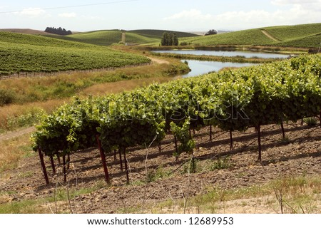 Idyllic vineyards with a windy river in Nappa Valley California