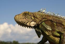 Iguana  Amazon