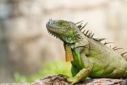 Iguana  animal wildlife.
