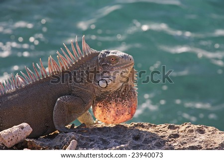 iguana backlit with the ocean as a background