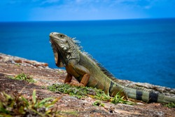 Iguana basking in the sun in Puerto Rico.