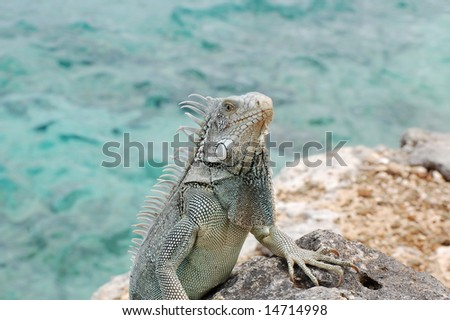Iguana climbing up rock ledge