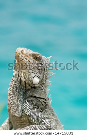 Iguana close-up near ocean