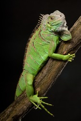iguana closeup, on black background