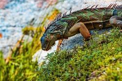 Iguana dragon. Iguana reptilian, exotic wild dragon