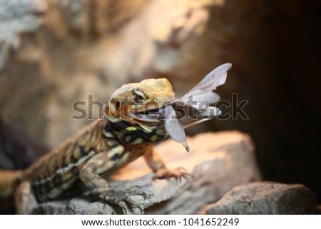 Iguana eating locusts