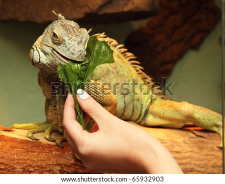 iguana eats green sheet - stock photo