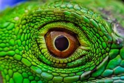 Iguana eye It's like the eye of devil or monster concepts for horror festivals like Halloween.