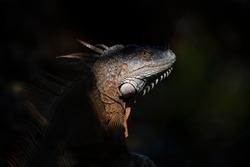 Iguana genus of herbivorous lizards. Amazon jungle fauna, Mexico, Central America, South America, Caribbean