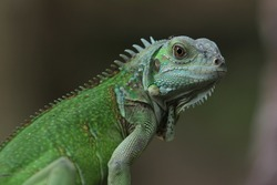 Iguana Green also known as the American iguana, is a large, arboreal, mostly herbivorous species of lizard of the genus Iguana.
