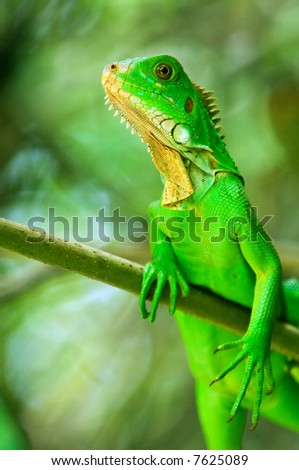 iguana hanging on limb in costa rica rainforest - stock photo