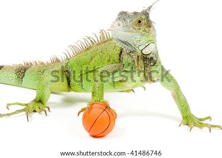 iguana holding a basketball isolated on white background - stock photo