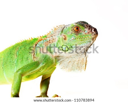 iguana (Iguana iguana) eats green sheet