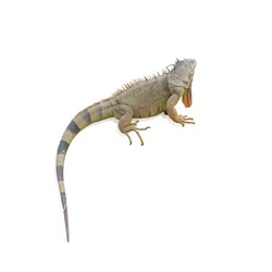 Iguana (Iguanidae),prehistoric reptiles isolated on white background, with clipping path