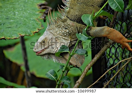 Iguana in Bushes