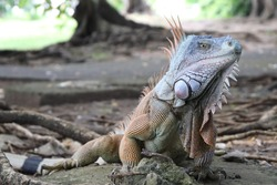 Iguana in Fort de France, Martinique Island, The Caribbean