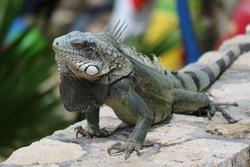 Iguana in the sun in Bonaire