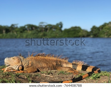 Iguana in Tortuguero, Costa Rica Foto stock ©