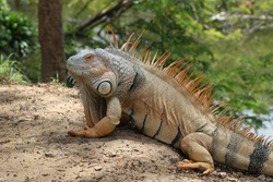 Iguana is a genus of herbivorous lizards that are native to tropical areas of Mexico