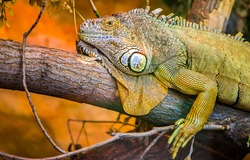 Iguana lizard on tree branch. Iguana portrait. Iguana in nature