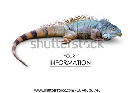 Iguana lizard pattern on white background isolation
