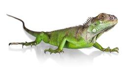 Iguana, Lizard, Reptile.
