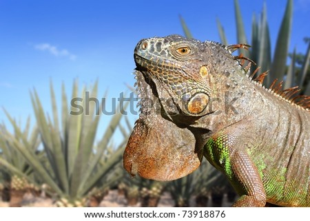 Iguana Mexico in agave tequila plant field blue sky [Photo Illustration]