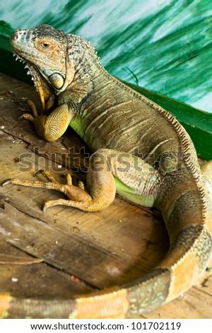 Iguana on a wooden floor - stock photo