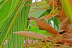Iguana on coconut tree